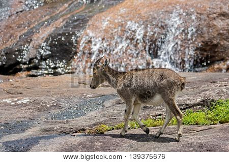 The Nilgiri Tahr crossing a rocky mountain stream at the Eravikulam National Park in Rajamalai, near Munnar, Kerala, India