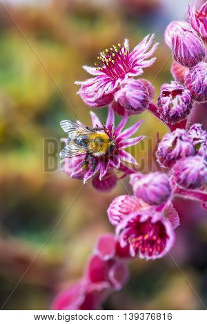 Decorative garden plant a rose of Stone (Sempervivum). Bumblebee collects nectar on the flowers of plants