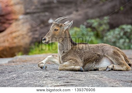 The Nilgiri Tahr resting on a rocky mountain at the Eravikulam National Park in Rajamalai, near Munnar, Kerala, India