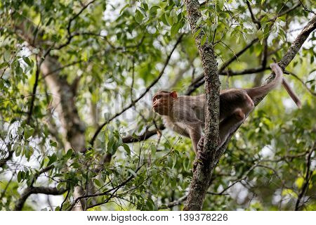 Macaque or Macaca (male) in the Sandalwood forest reserve in Marayoor, Kerala, India
