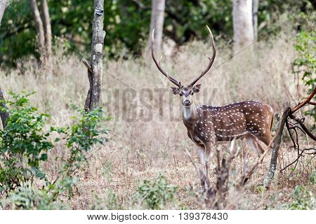 A Spotted Deer in the sandalwood forest at Marayoor, near Munnar, Kerala, India