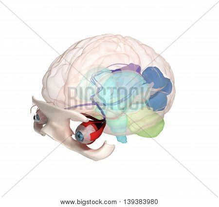 Eye Anatomy And Structure, Muscles, Nerves And Blood Vessels Of The Eyes 3D Illustration