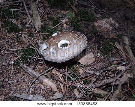 toadstool ,  brown mushroom ,  Toadstool tabby