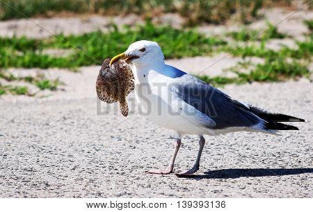 Seagull eating its lunch on a beautiful summer day