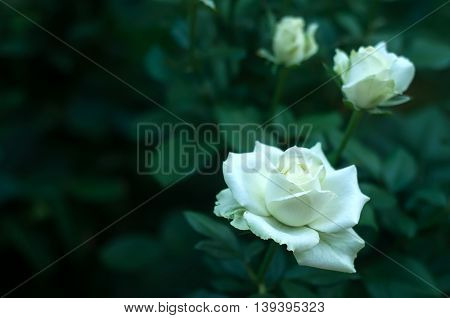 White Rose On A Background