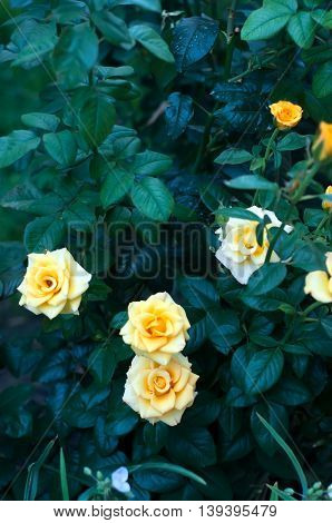 Rose Bushes With Yellow Blossoms And Bud