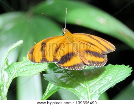 The Orange Tiger Butterfly in garden of Niagara Falls Ontario 16 July 2016 Canada