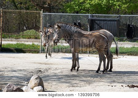 Two Grevy's zebras (Equus grevyi), mare and foal, stand together in profile, their stripes seeming to blend together.