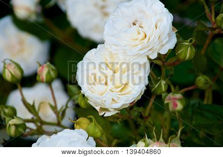 Castle rose Ledreborg. Flowers blooming with multiple rosebuds. High contrast.