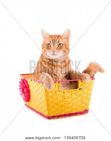 Orange tabby cat sitting in a yellow and pink basket with a bummed expression, on white