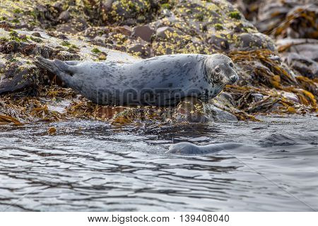Atlantic Grey Seal Looking