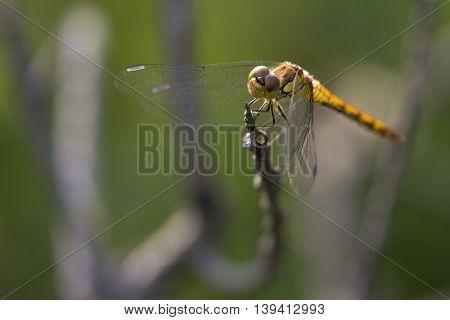 Vagrant Darter (Sympetrum vulgatum) female resting on a branch