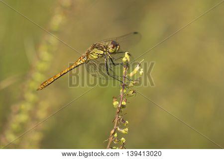 Vagrant Darter (Sympetrum vulgatum) male resting on a twig