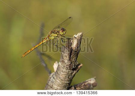Vagrant Darter (Sympetrum vulgatum) male resting on a branch