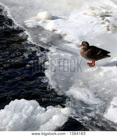 A Duck On A Frozen Lake