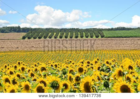 Huge sunflower Field, farming in eastern Europe