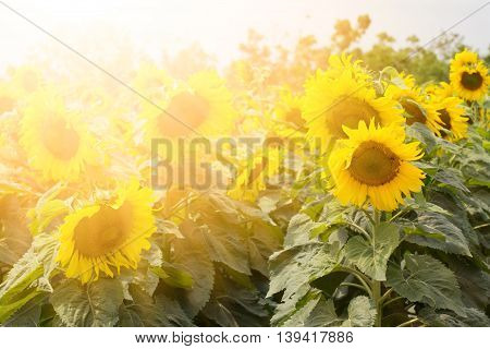 sunflower ,sunflower background. sunflower beautiful. sunflower ,sunflower background. sunflower beautiful.