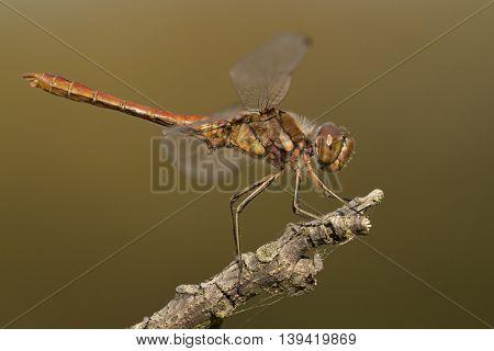 Vagrant Darter (Sympetrum vulgatum) resting on a dead branch