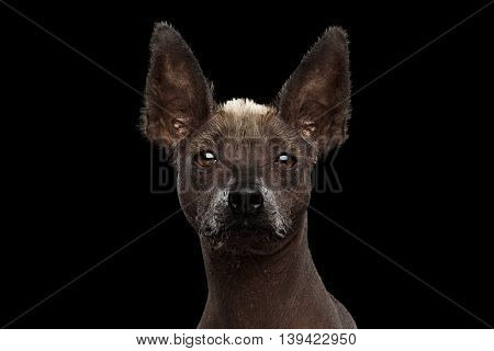 Xoloitzcuintle - hairless mexican dog breed, Studio Close-up portrait on Isolated Black background, Front view