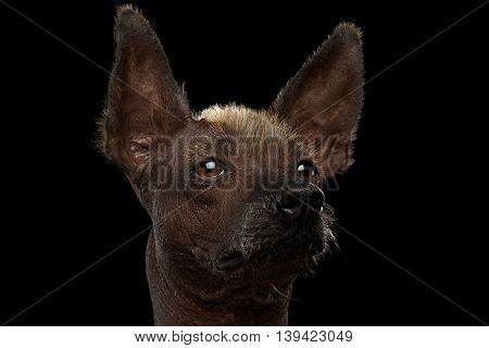Closeup portrait of Xoloitzcuintle - hairless mexican dog breed, on Isolated Black background, Sad eyes