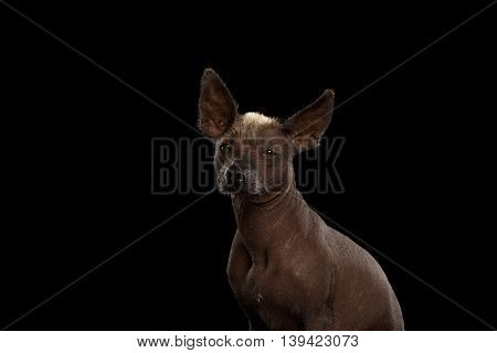 Xoloitzcuintle - hairless mexican dog breed, Studio portrait on Isolated Black background