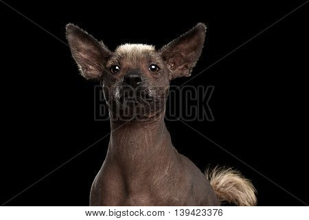 Xoloitzcuintle - hairless mexican dog breed, Studio Close-up portrait on Isolated Black background, Front view, Curious Looks