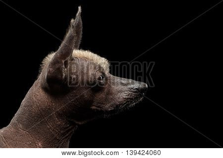 Closeup Pedigree portrait of Xoloitzcuintle - hairless mexican dog breed, on Isolated Black background, Profile view