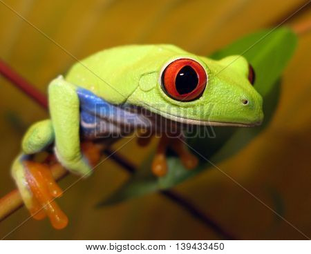 Red eye tree frog on branch up close staring directly at viewer with bright red eyes.