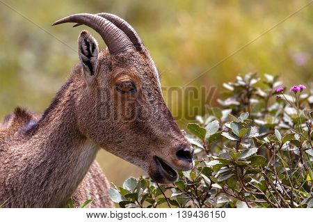 Nilgiri Tahr at Rajamalai hills in Eravikulam National Park near Munnar, Kerala, India