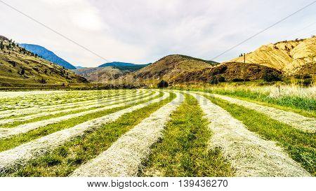 Rows of Hay on a hay field along Highway 8 between Merritt and Spences Bridge in British Columbia, Canada