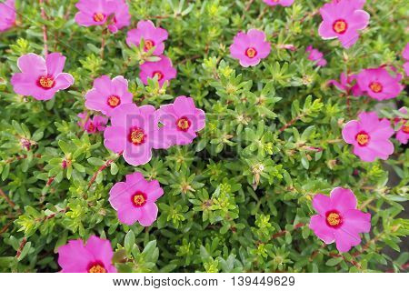 Pink Portulaca oleracea Flower and leaf , Asian flower.