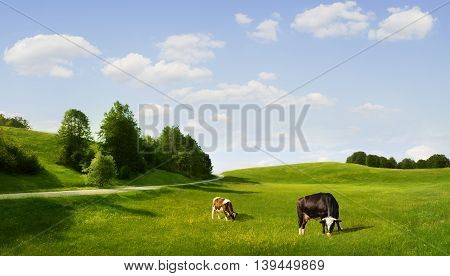 panoramic view of nice green hill with сows on blue sky background