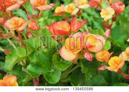 Orange Begonia Flower Background Texture, Natural background.