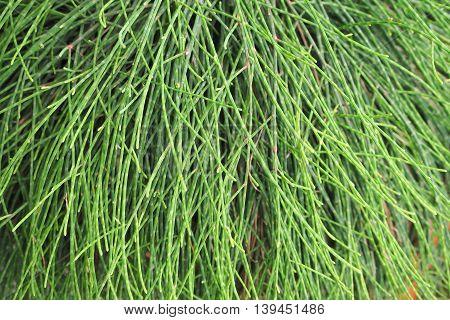 green pine leaf background texture, Natural background.