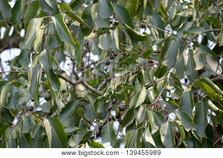 green syzygium cumini tree in nature garden
