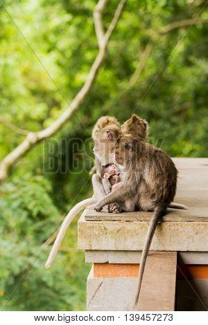 Sleeping monkeys. Family dozing. Monkey forest in Ubud Bali Indonesia.