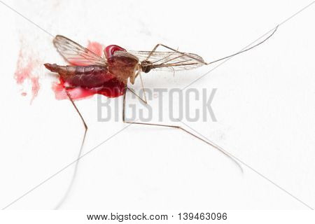 Gnat Or Mosquito Insect