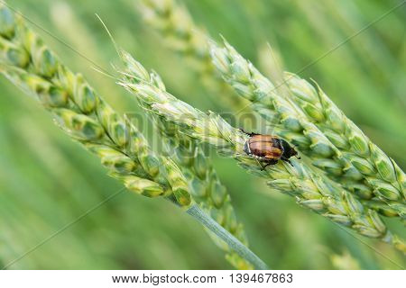 Insect pest of agricultural crops Grain Beetle (lat. Anisoplia Austriaca) on the wheat ear on background of a wheat field
