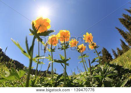 beautiful globeflowers and green grass under blue sky