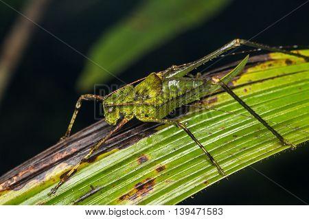 Katydid of Borneo , Dragon Head Katydid , Katydid
