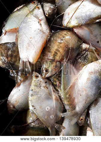 close up die Gourami fish for cooking