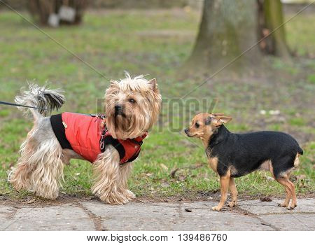 Yorkshire Terrier Toy Terrier Jake and Sonia for a walk.