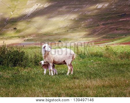 Mom sheep with small newly born lamb grazing in a green field in the middle of a valley.