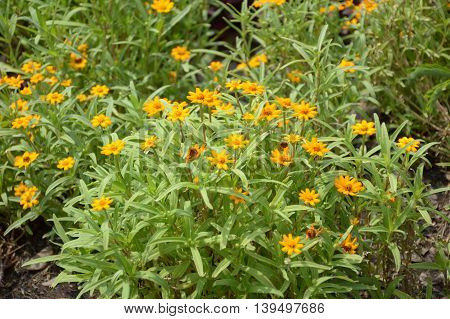 close up Zinnia angustifolia flower in nature garden
