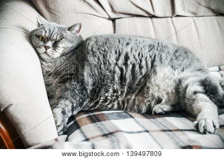British fat cat lounging on the sofa asleep. cat look. Focus on the eyes. vignetting conceived as an artistic effect
