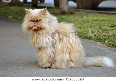 Red Persian fluffy angry cat sitting on the street.