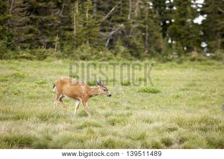 Deer grazes in the meadow on top of Hurricane Ridge in Washington.
