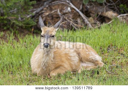 Female deer relaxes in grass on Hurricane Ridge in Washington.