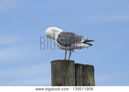 An adult Herring Gull perched on a post preening itself at Westhaven Cove in Westport Washington.
