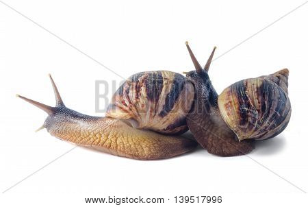 Isolated african land snail Achatina, in front of white background